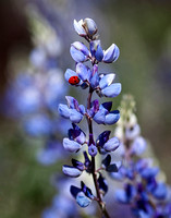 Lupin Flower